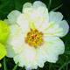松葉牡丹画像